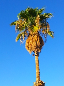 Arizona Palm Tree? Eloy, Arizona