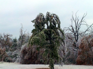 Tree's weighed down and snapped by weight of Ice