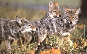 imagescoyotes